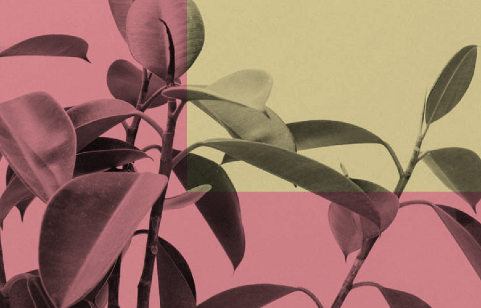 Abstract illustration, yellows and pinks with fica leaves.